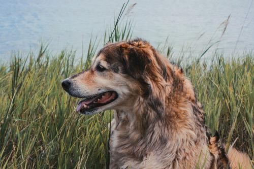 chien bord d'étang